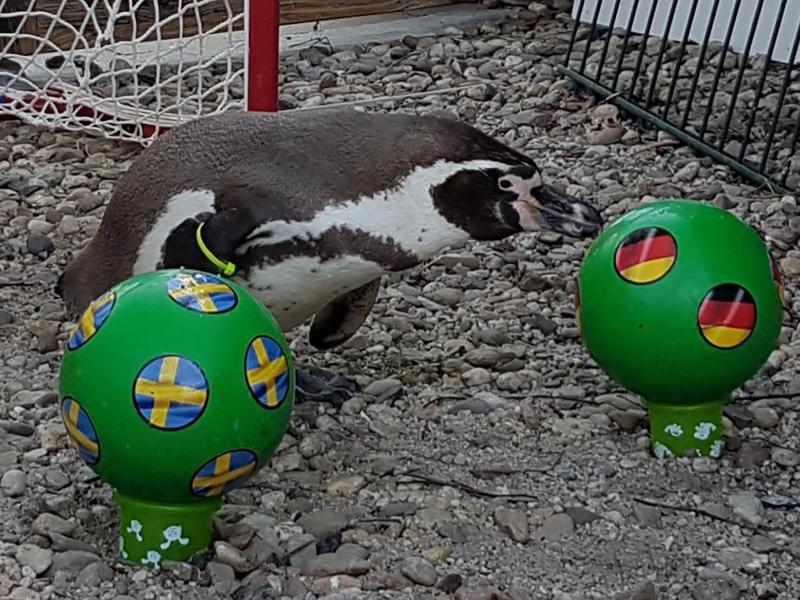 Pinguin Flocke aus dem Spreewald tippt auf einen Ball mit der deutschen Fahne