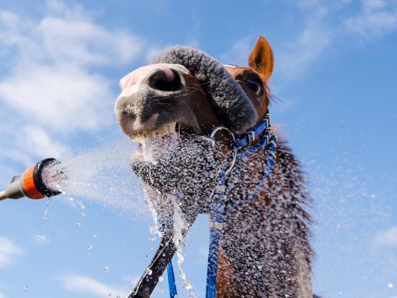Nach dem Rennen in der Wüste erhält ein Pferd eine Abkühlung.